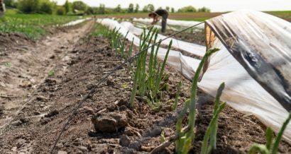 Pole szparagów, Fot. Shutterstock.com