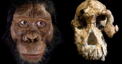 Czaszka MRD (z prawej) oraz rekonstrukcja komputerowa twarzy na podstawie czaszki (autor rekonstrukcji: John Gurche). Fot. CLEVELAND MUSEUM OF NATURAL HISTORY