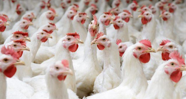 Kurczaki broilery, farma. Fot. Shutterstock