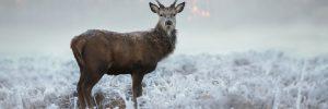dzikie zwierzęta, jeleń, fot. Shutterstock