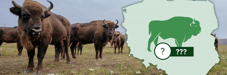 Ile żubrów na wolności żyje w Europie i w Polsce? Grafika: 300Gospodarka.